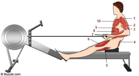 Muscles travailles sur le rameur