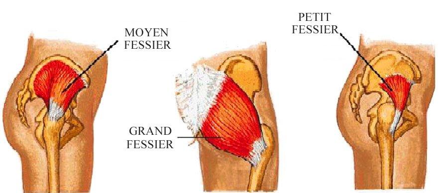 musculation moyen fessier